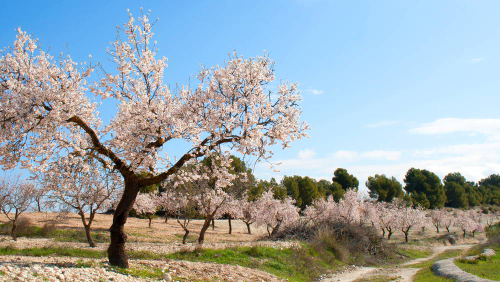 Almond tree in spring